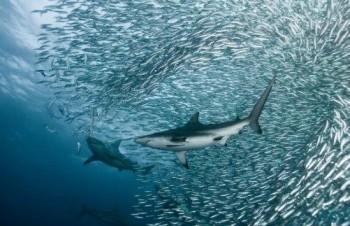 股市沙丁魚理論